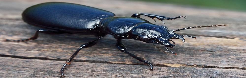 Дезинсекция от жука жужелицы ПроКомфорт